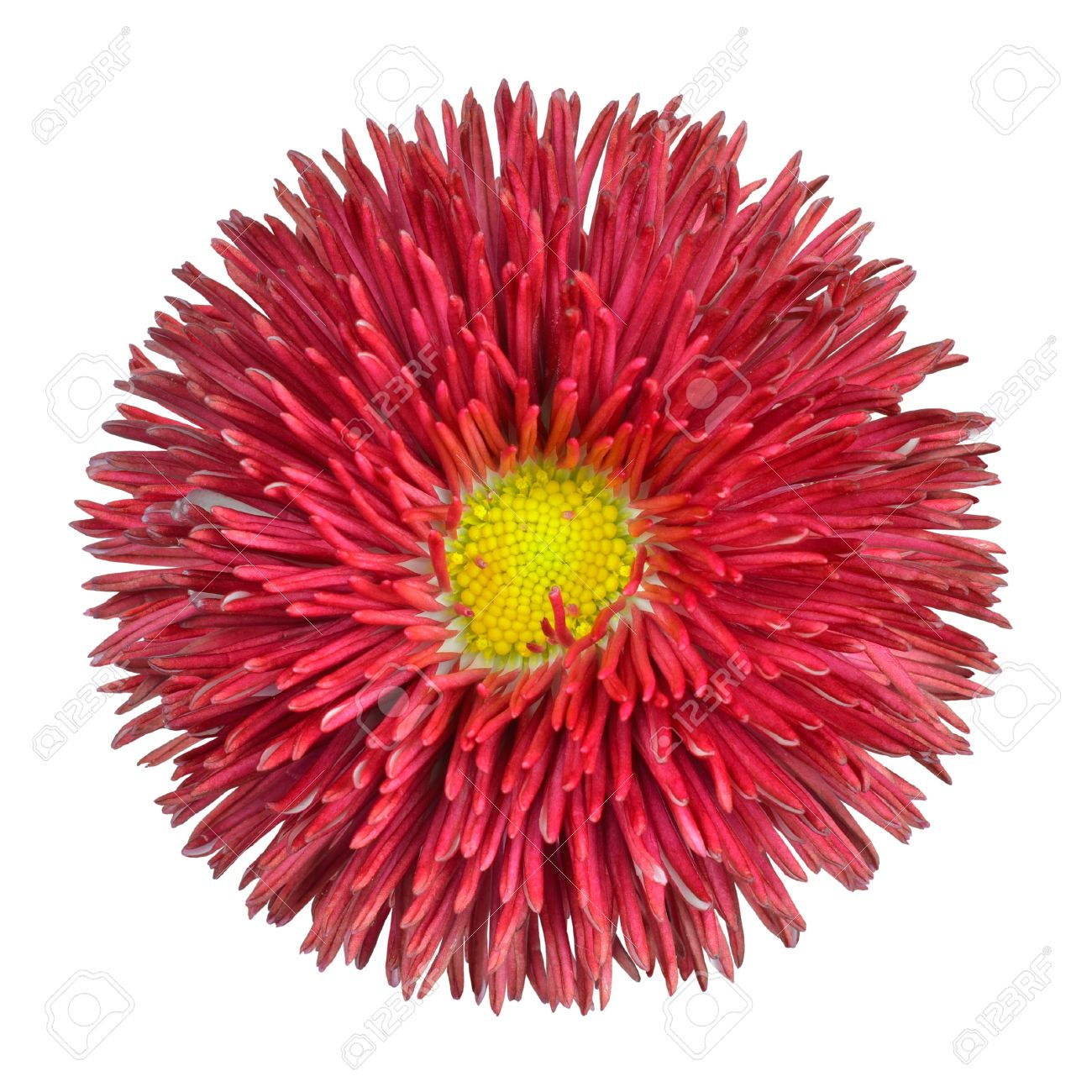 Red perennial daisy flower head with yellow center isolated on red perennial daisy flower head with yellow center isolated on white background bellis perennis mightylinksfo