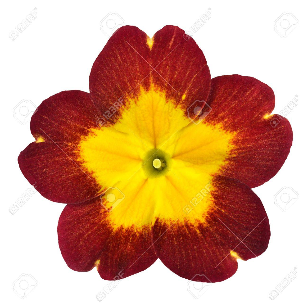 Red Primrose Flower With Yellow Center Isolated On White Background
