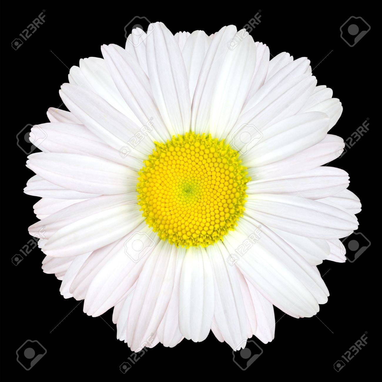 White Daisy Flower Isolated On Black Background White With Stock