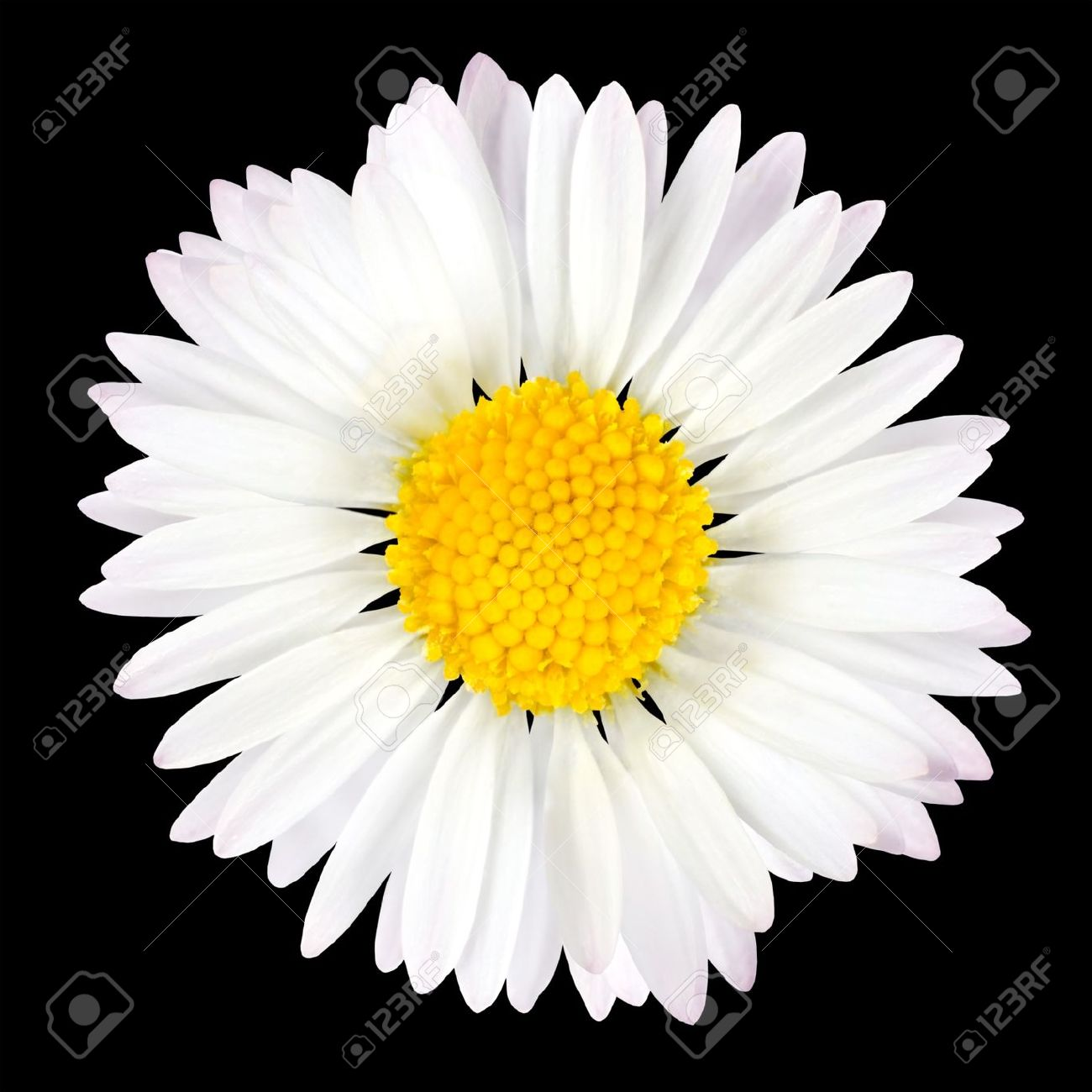 Daisy Flower Isolated On Black Background White With Yellow
