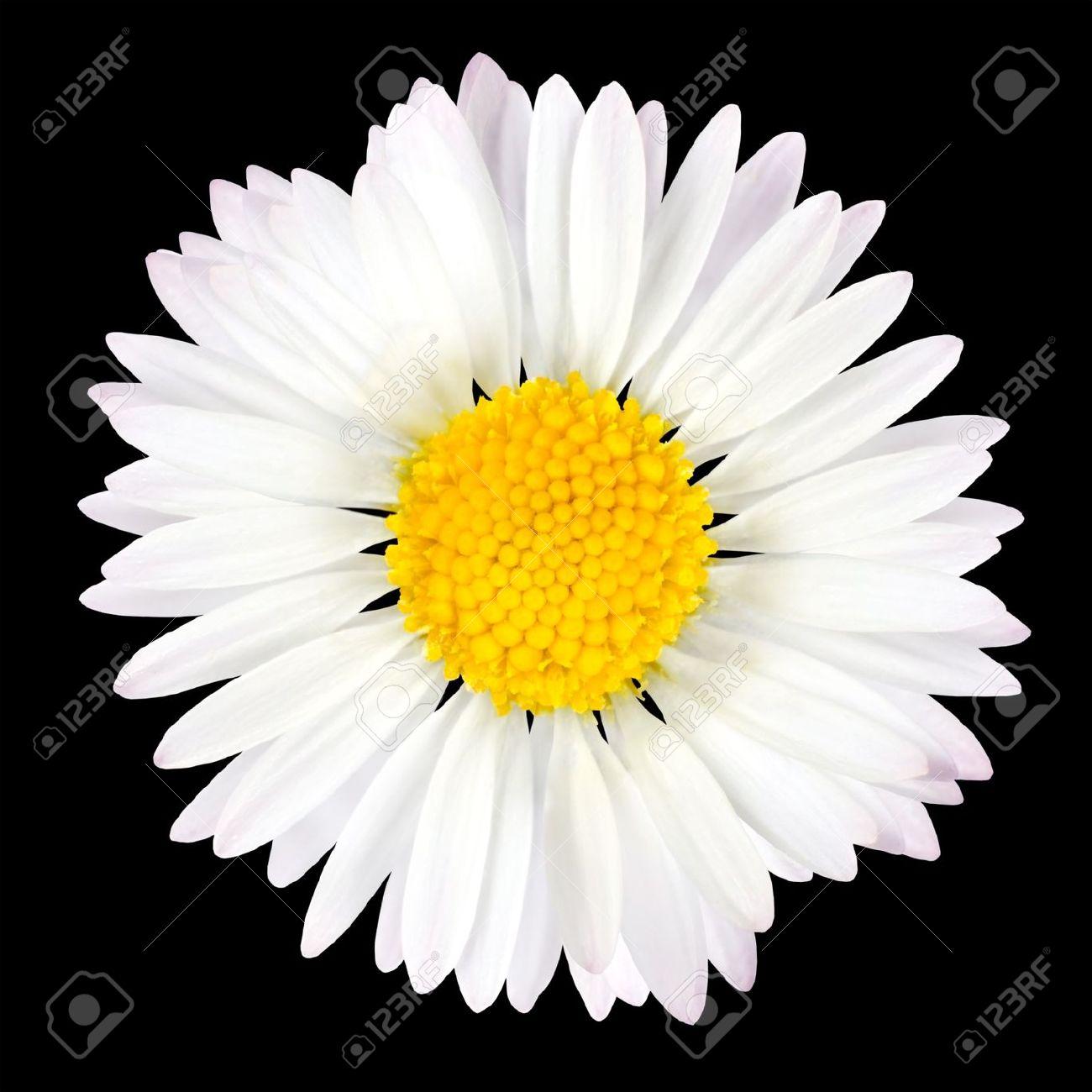 De Fleur De Marguerite Isole Sur Fond Noir Blanc Avec Centre Jaune