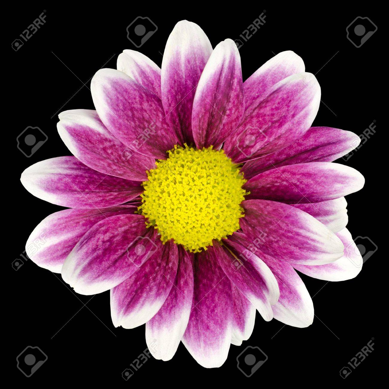 Purple Dahlia Flower With Yellow Center And White Leaf Edges Stock