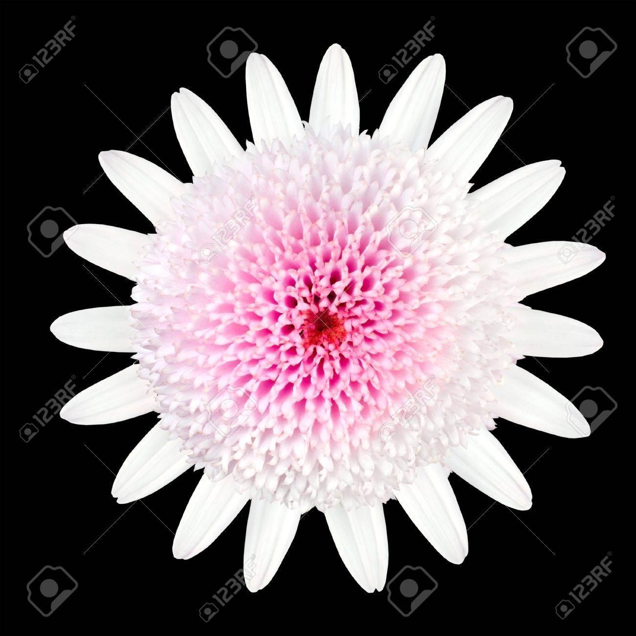 Pink white daisy type flower with white petals and large center pink white daisy type flower with white petals and large center isolated on black background stock dhlflorist Images