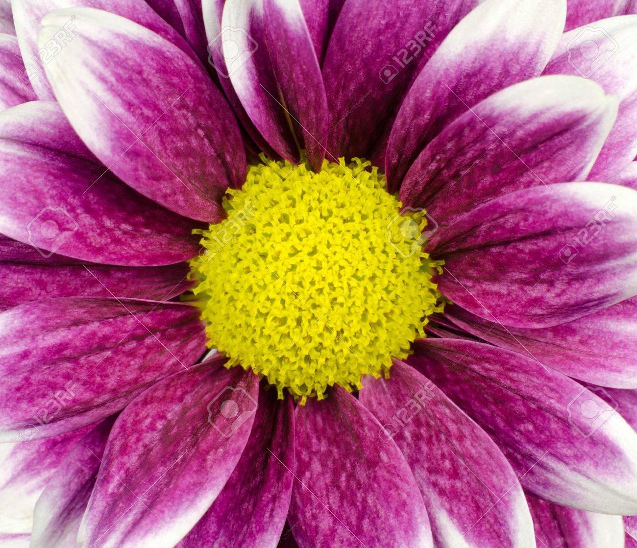 purple dahlia flower with yellow center macro frame stock photo, Beautiful flower