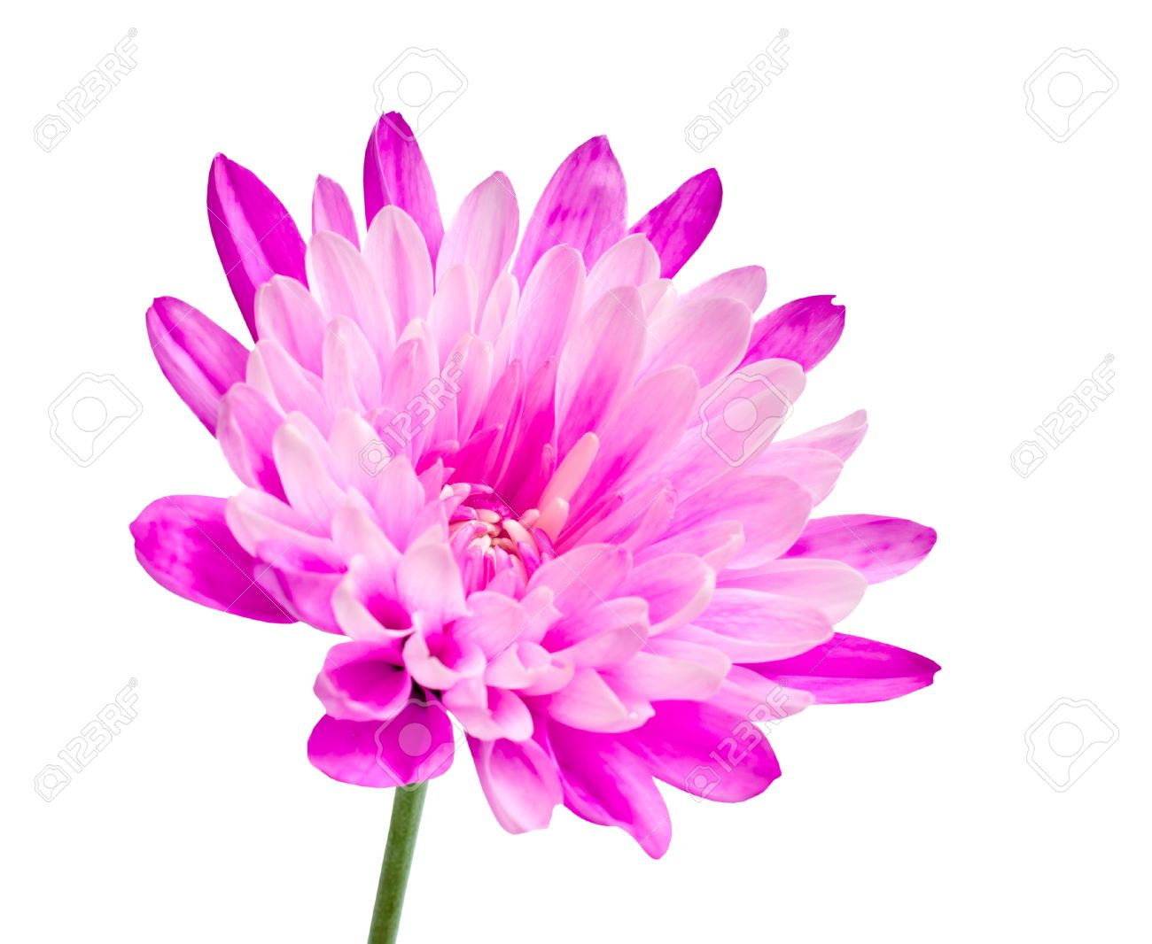 Pink Chrysanthemum Flower On Green Stick Isolated On White