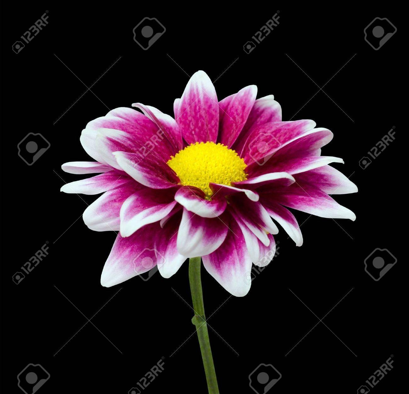 Fresh purple dahlia flower with yellow center isolated on black fresh purple dahlia flower with yellow center isolated on black background stock photo 14660708 izmirmasajfo