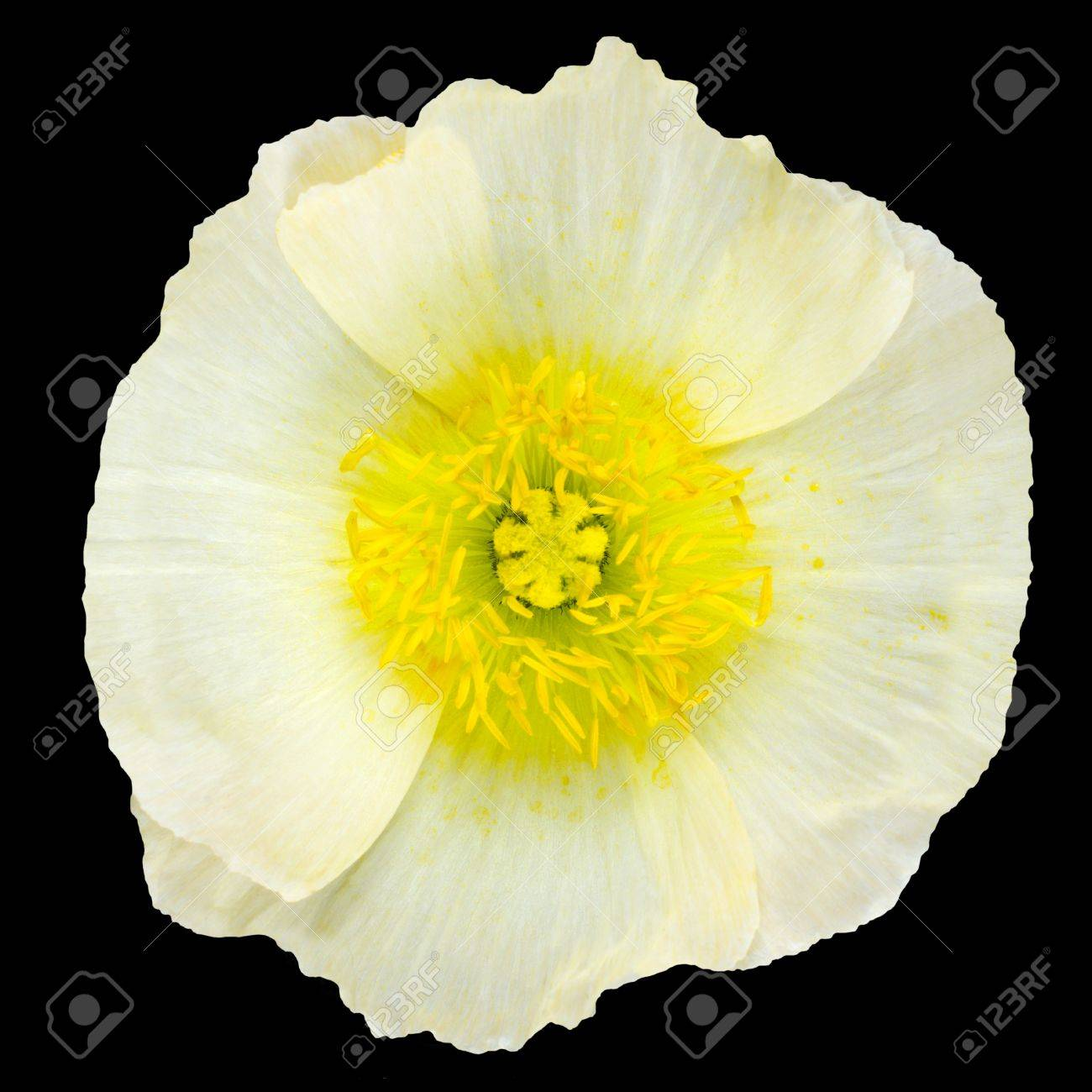 White poppy flower macro with yellow center isolated on black stock photo white poppy flower macro with yellow center isolated on black background mightylinksfo