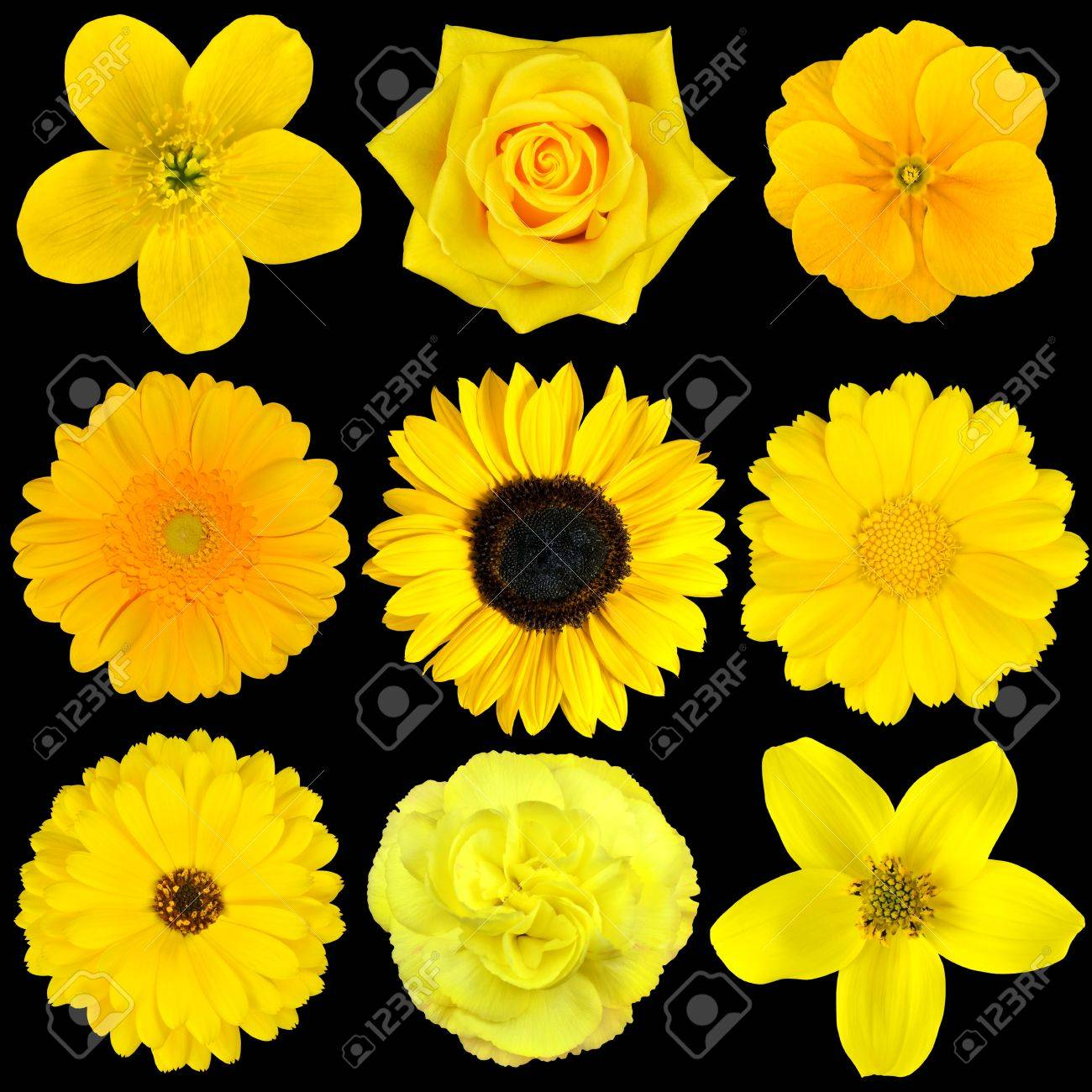 Collection of nine yellow flowers isolated on black various stock collection of nine yellow flowers isolated on black various set of dahlia dandelion daisy mightylinksfo