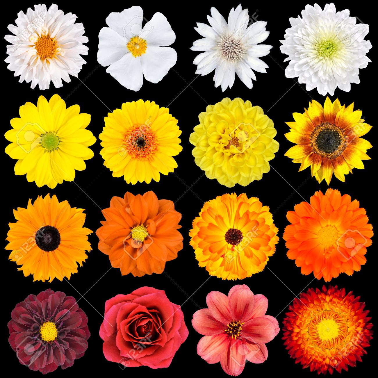 Selection of various white yellow orange flowers isolated on selection of various white yellow orange flowers isolated on black background red mightylinksfo