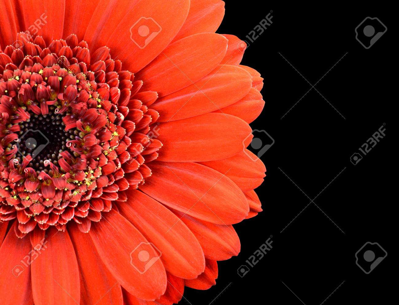 Red Marigold Flower Part Isolated on Black Background Stock Photo - 17718745