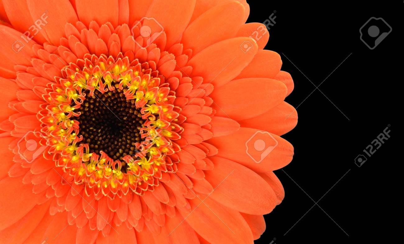 Orange Gerbera Flower Part Isolated on Black Background Stock Photo - 17718725