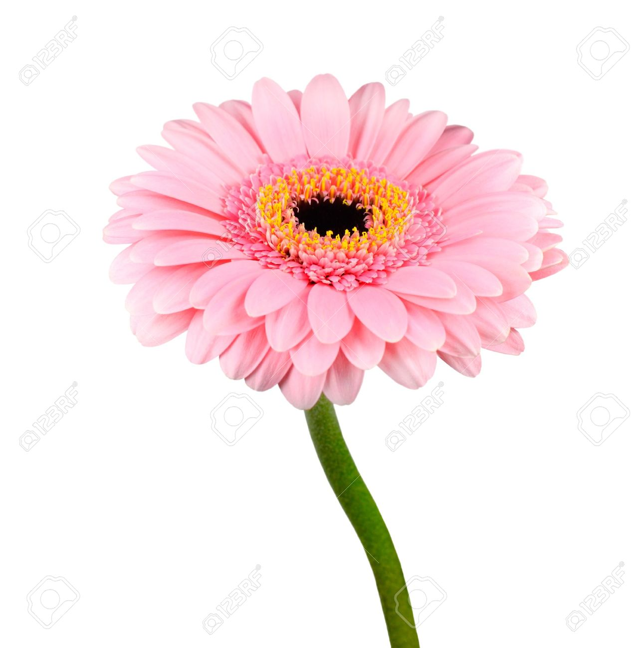 Gerbera Rose Fleur Avec Tige Verte Isolee Sur Fond Blanc Banque D