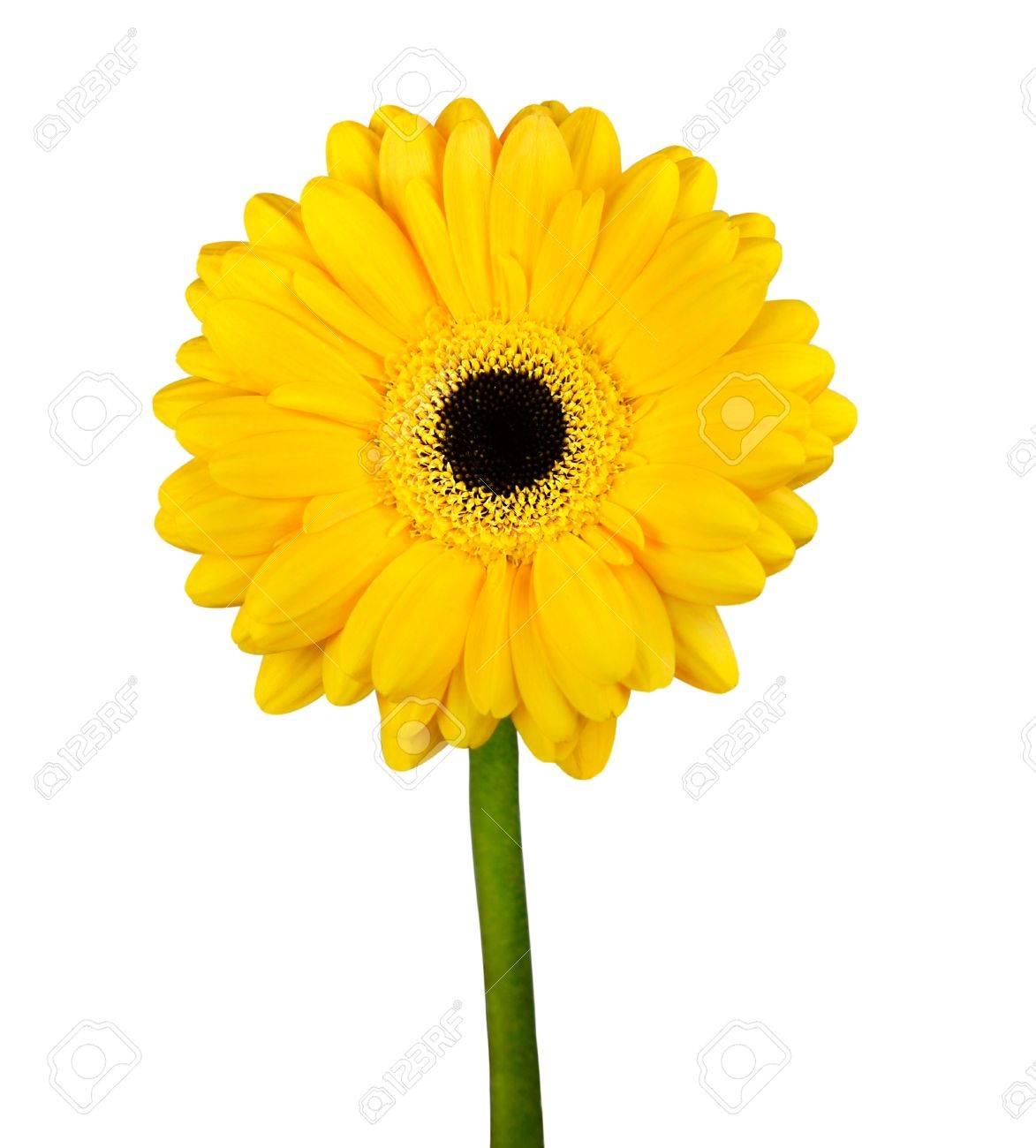 Yellow gerbera flower with green stem isolated on white background stock photo yellow gerbera flower with green stem isolated on white background mightylinksfo