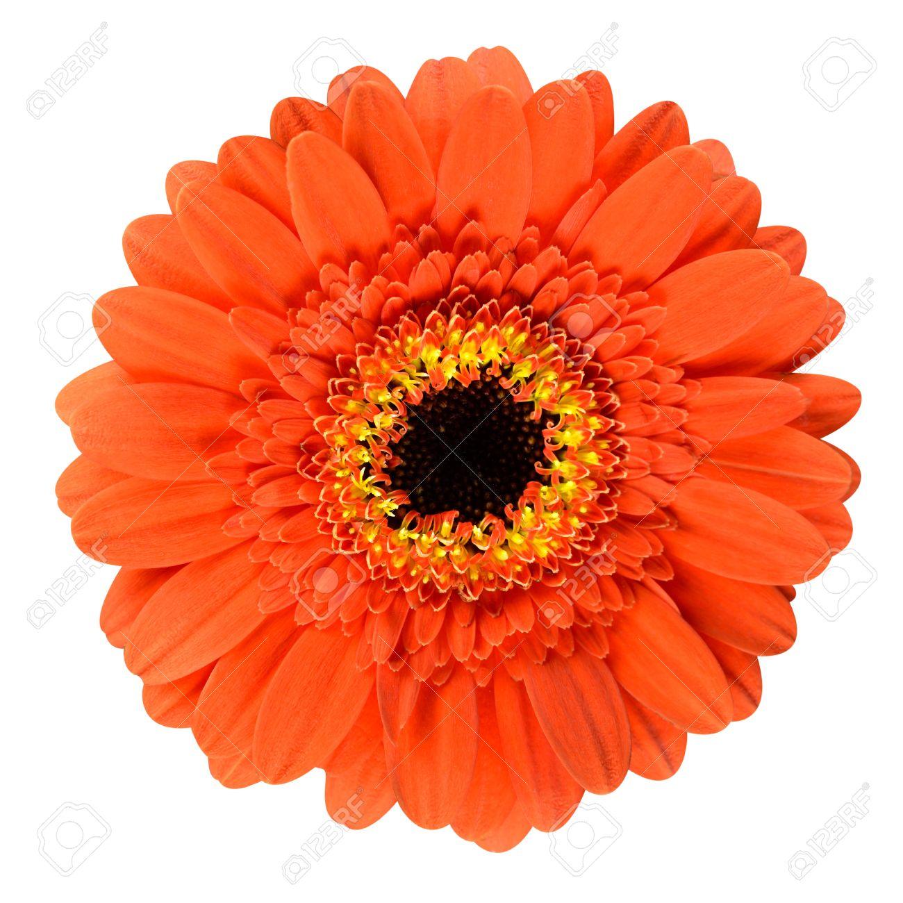 Beautiful orange gerbera flower with black center close up isolated beautiful orange gerbera flower with black center close up isolated on white background stock photo mightylinksfo