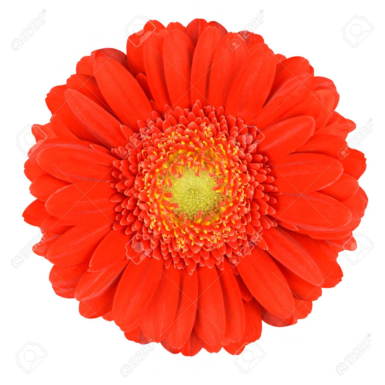 Perfect Orange Gerbera Flower With Yellow Center Close Up Isolated