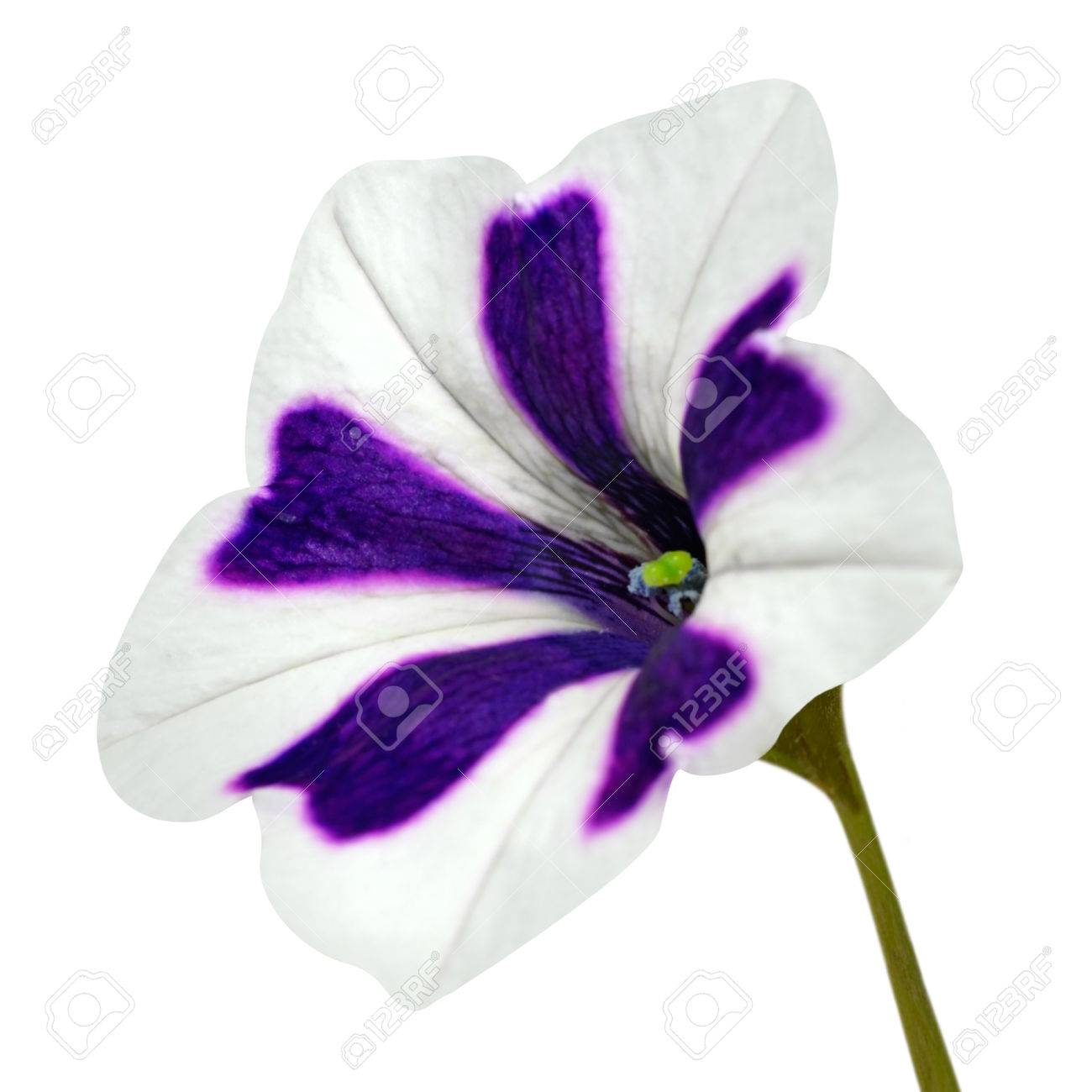 Star Shaped Morning Glory Flower With White And Purple Stripes