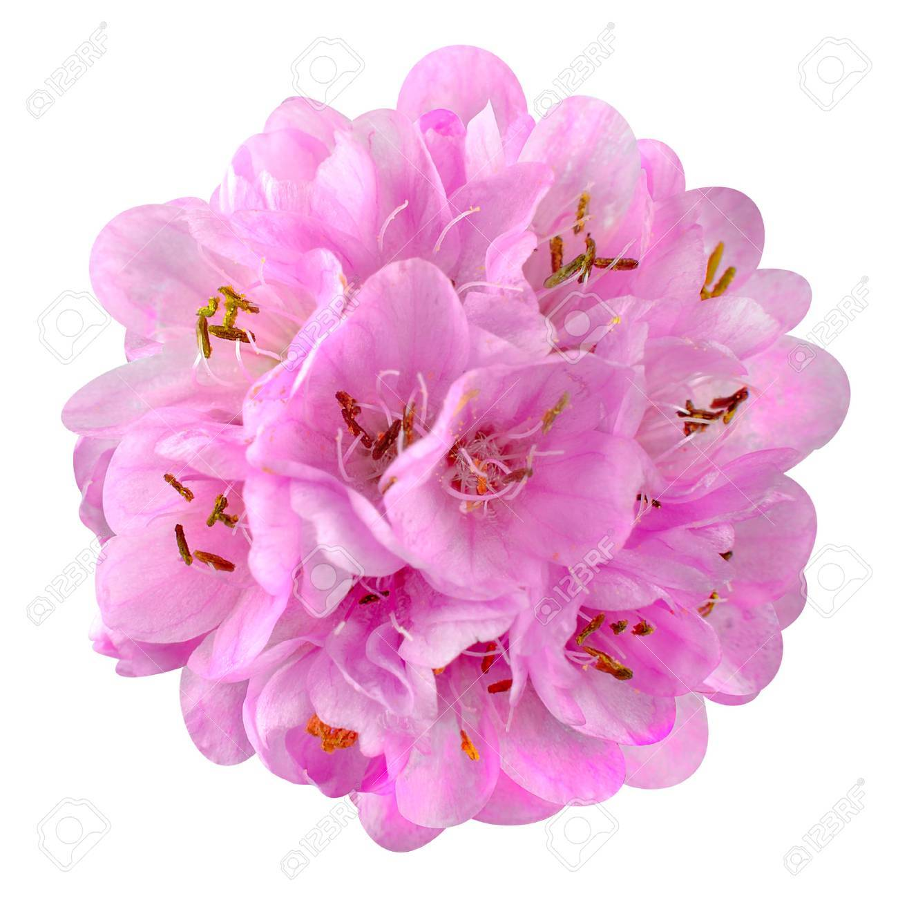 Small Pink Flower Ball Dombeya Isolated On White Background Stock