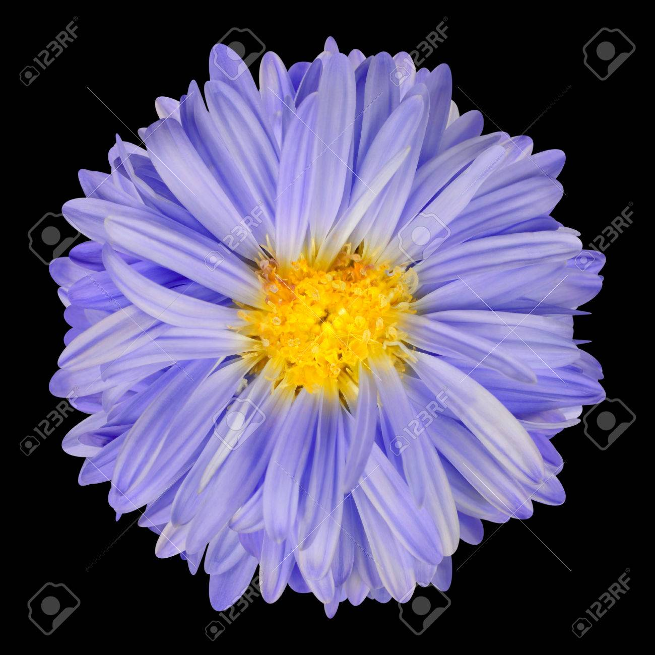 Purple Aster Flower With Narrow Purple Petals And Yellow Center