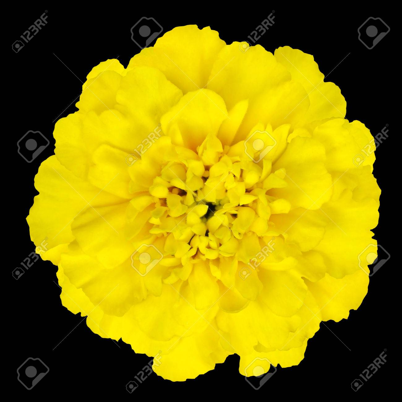 Marigold Yellow Flower Petals At The Base Of Dark Yellow At Stock