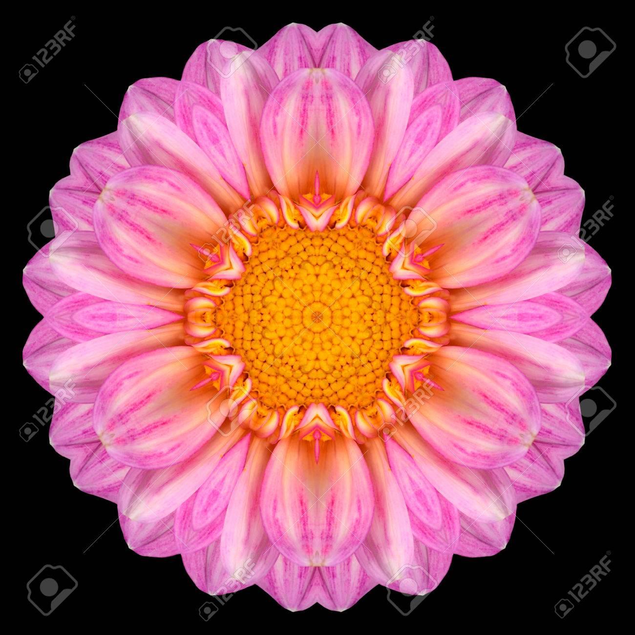 Pink Purple Mandala Of Dahlia Flower With Yellow Center