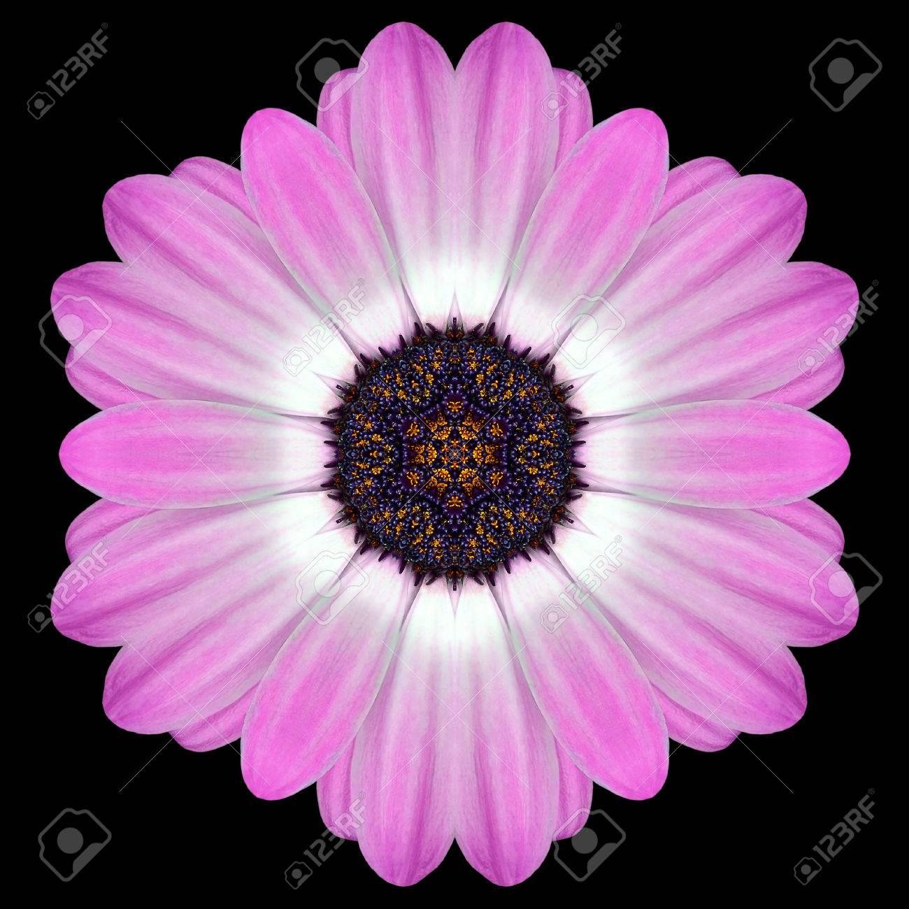 Pink purple mandala of daisy flower with dark center kaleidoscopic pink purple mandala of daisy flower with dark center kaleidoscopic design isolated on black background izmirmasajfo