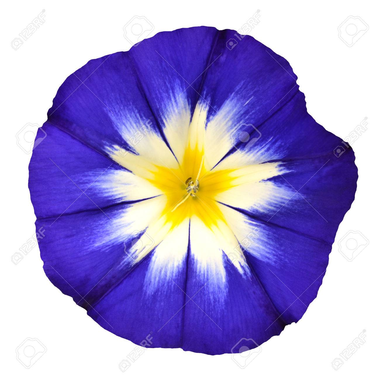 Blue Flower With White Yellow Star Shaped Center Isolated On Stock
