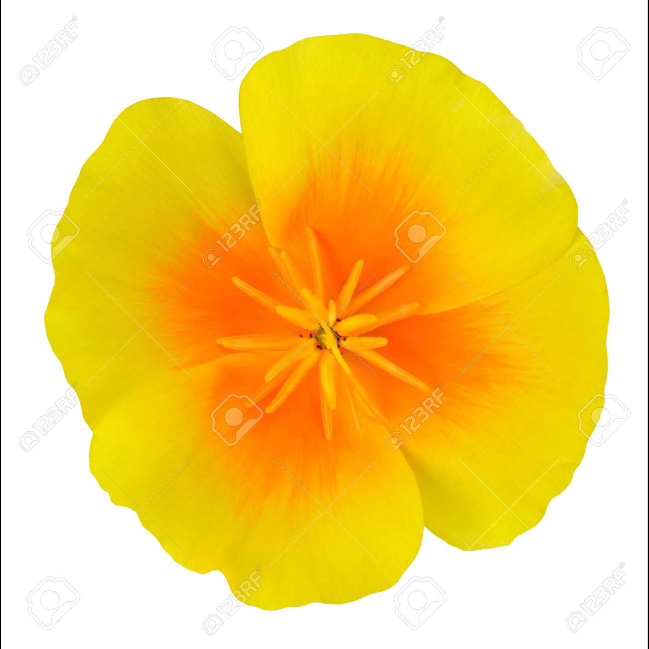 Yellow Wildflower Flower With Orange Center Isolated On White