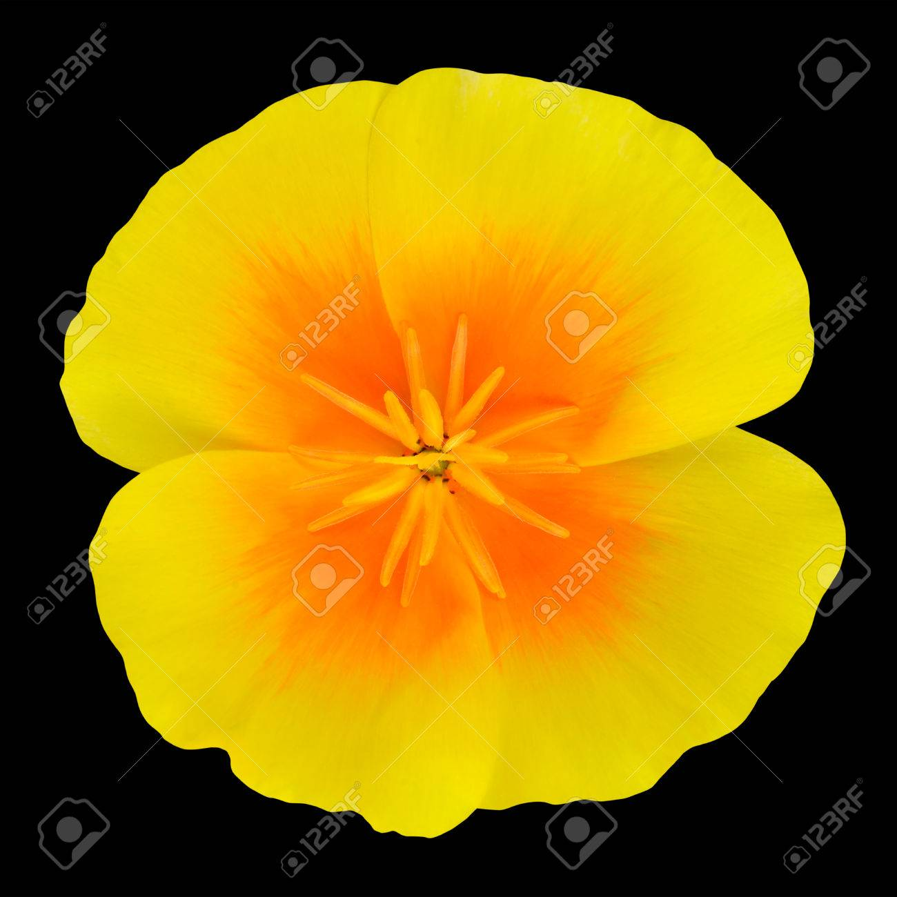 Yellow Wildflower Flower With Orange Center Isolated On Black