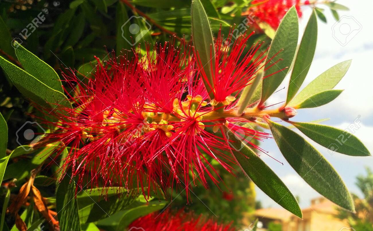 Bottlebrush Red Bristle Plant - 134430341