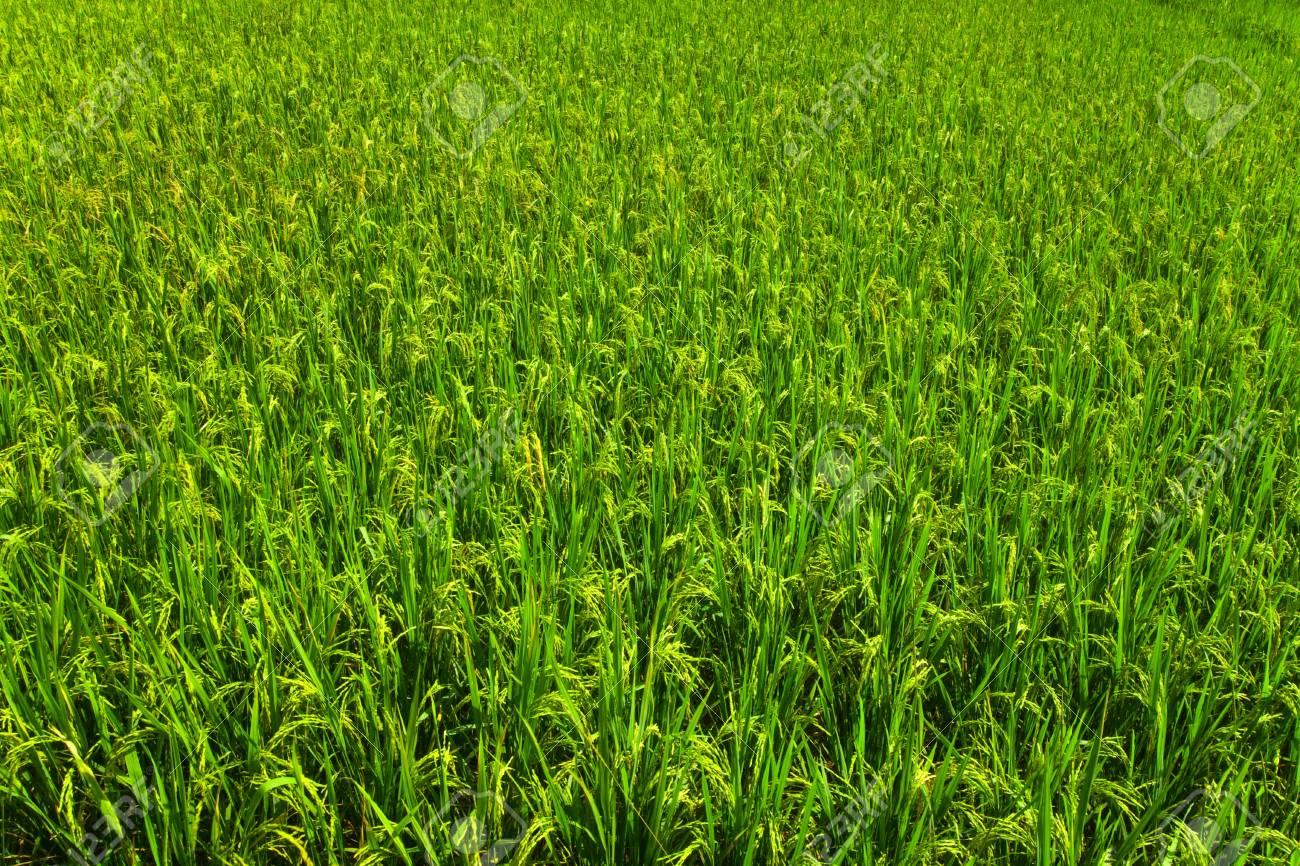 Field with the jasmine rice,Thailand Stock Photo - 12545996