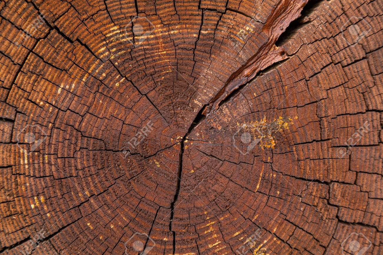 Close-up of crossing cut of dry tree with yearly rings - 132038771