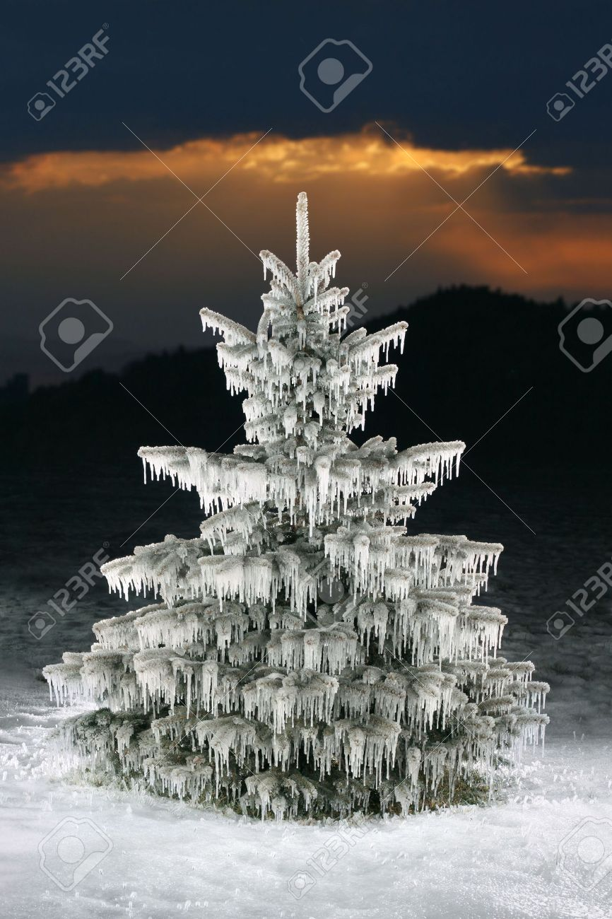 Christmas Tree Icicles, Blue Spruce On Sunset Background Stock ...