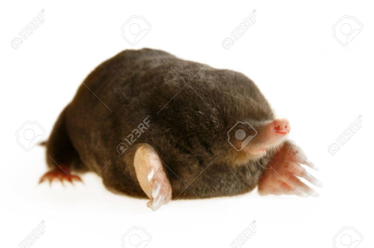 live mole showing claws and paws, studio isolated, talpa europaea Stock Photo - 8610213