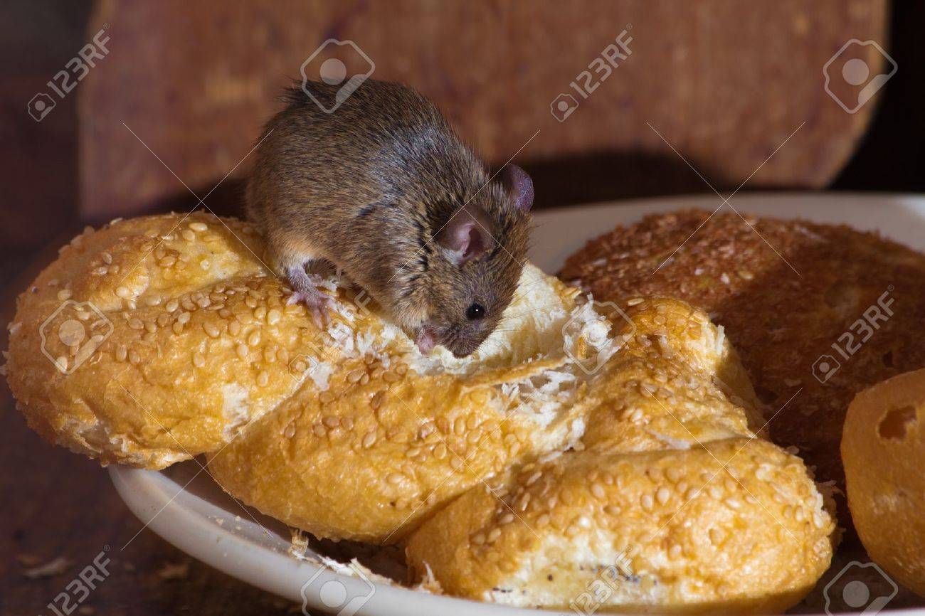 Mouse In The Kitchen Eating Bread Stock Photo, Picture And Royalty ...