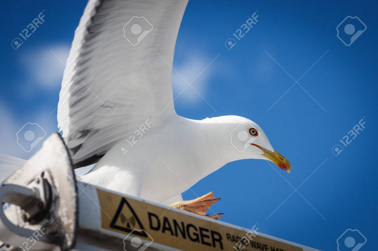 Seagull on the danger sign close up - 91468903