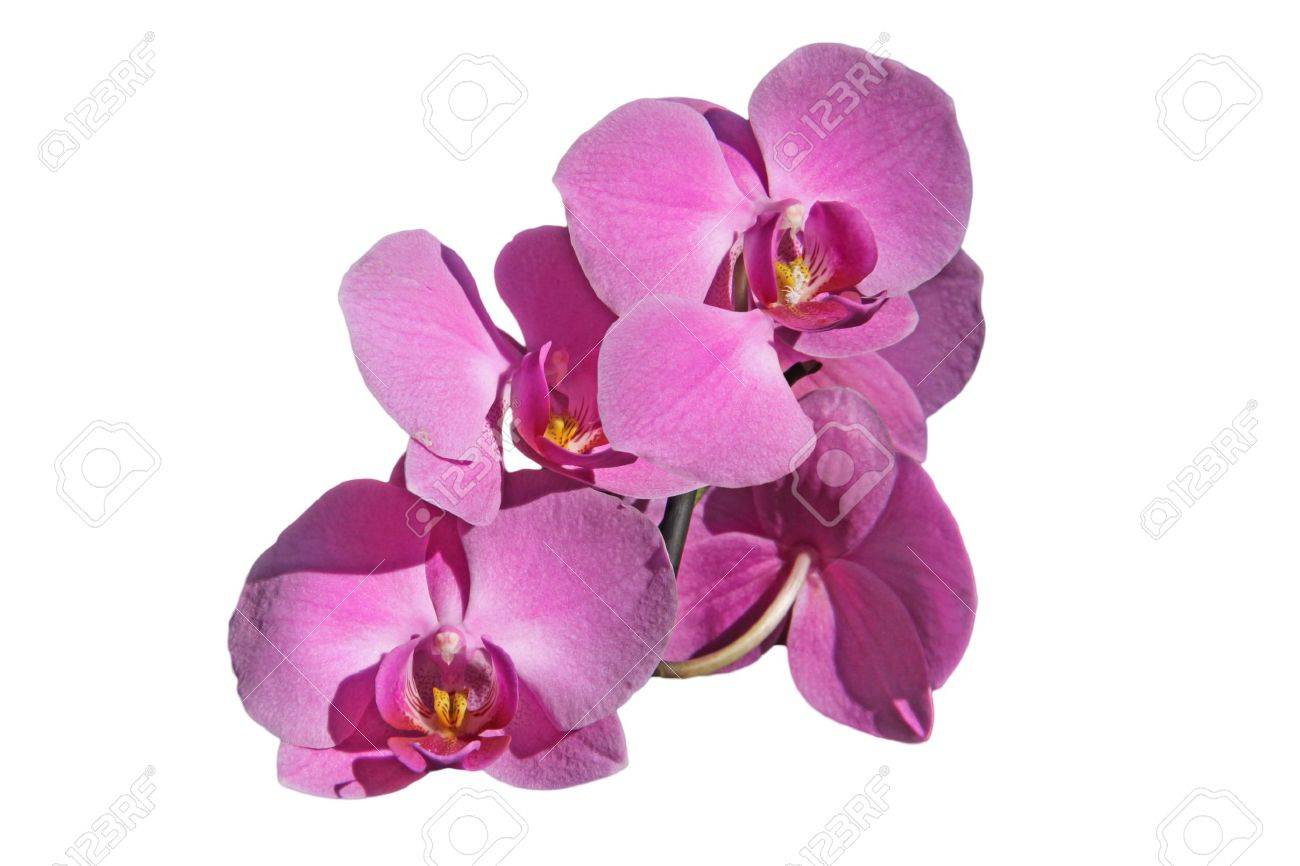 Pink orchid flowers white background royalty fria stockfoton bilder pink orchid flowers white background stockfoto 10802291 mightylinksfo