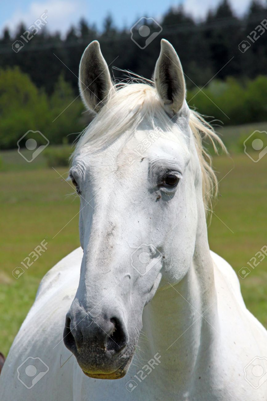 A White Horse Looking Into The Camera Stock Photo Picture And Royalty Free Image Image 10908316