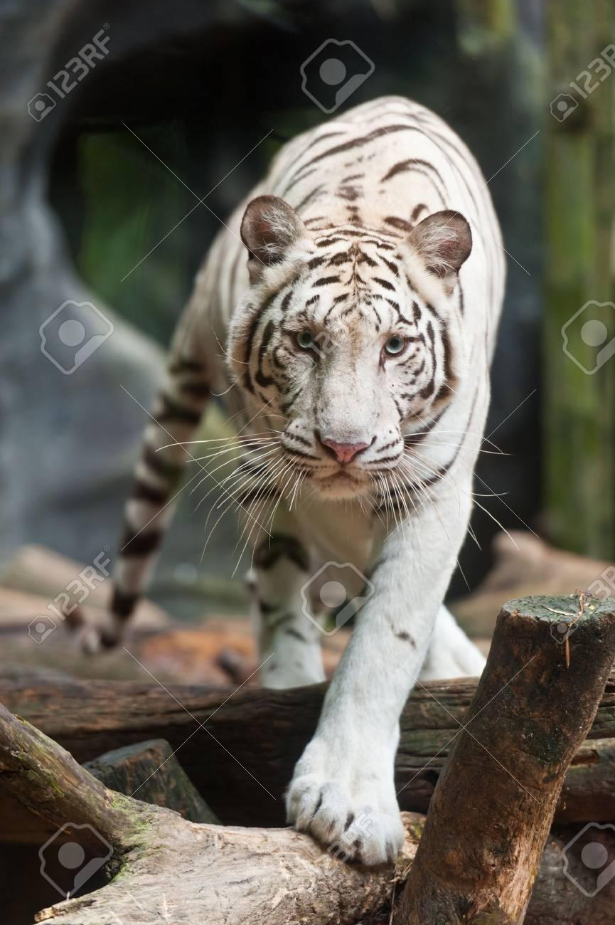 White tiger Stock Photo - 10010279