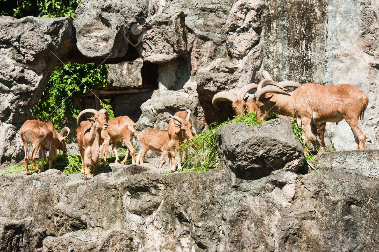 brown mountain goat family Stock Photo - 10540168