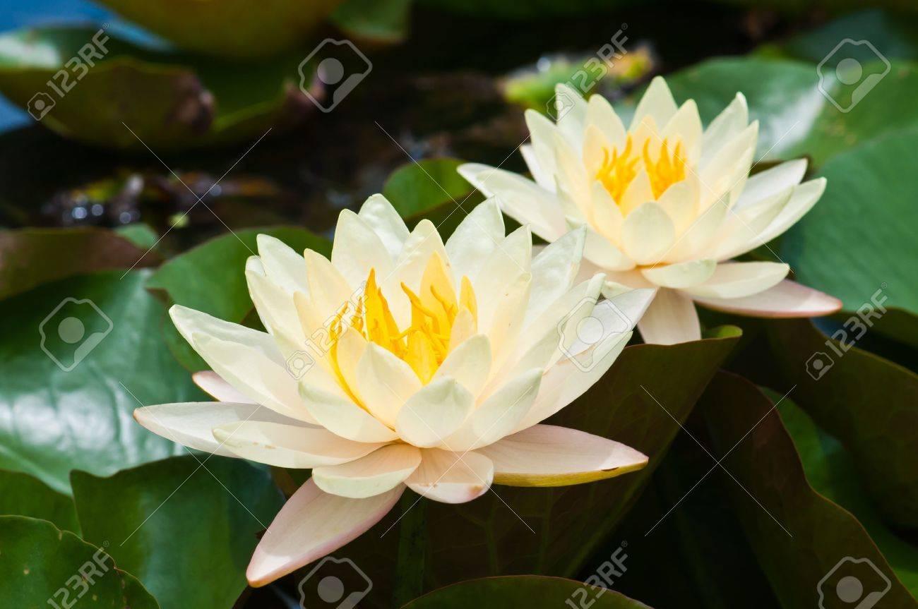 two white lotus Stock Photo - 10539945