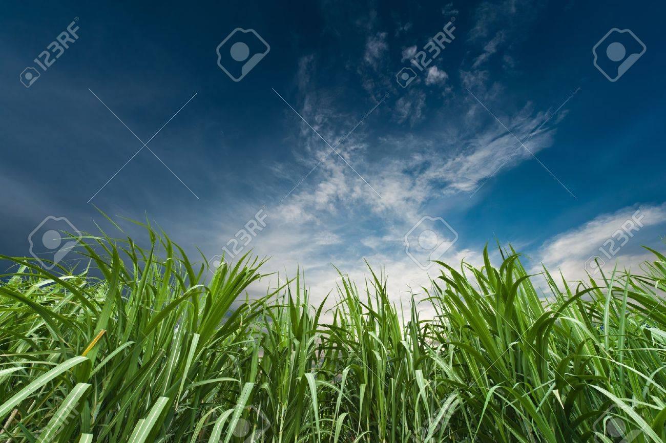 Sugar cane with nice sky Stock Photo - 11298265