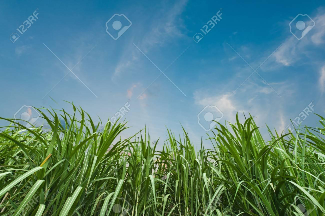 Sugar cane with blue sky Stock Photo - 11309740