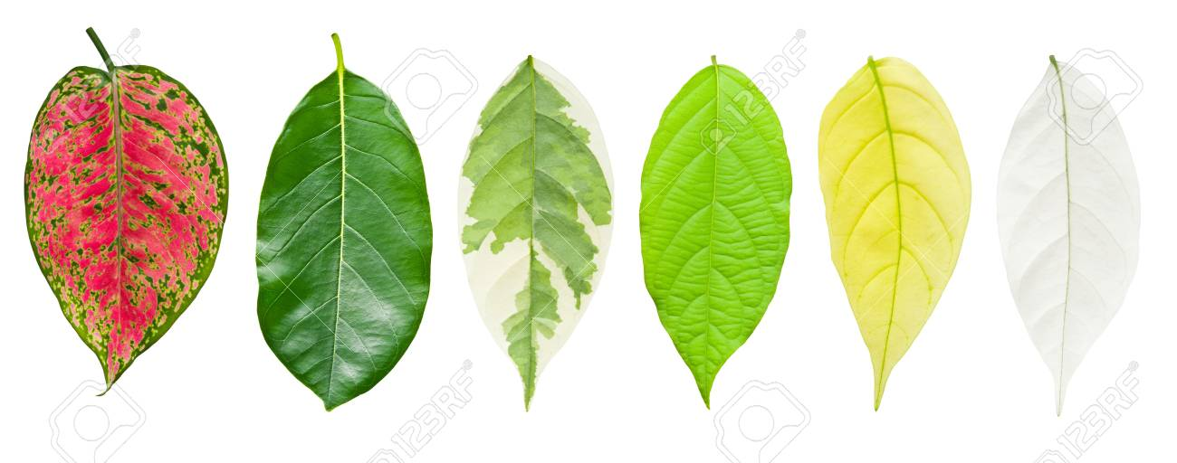 Set of leaf isolated on white Stock Photo - 13843524