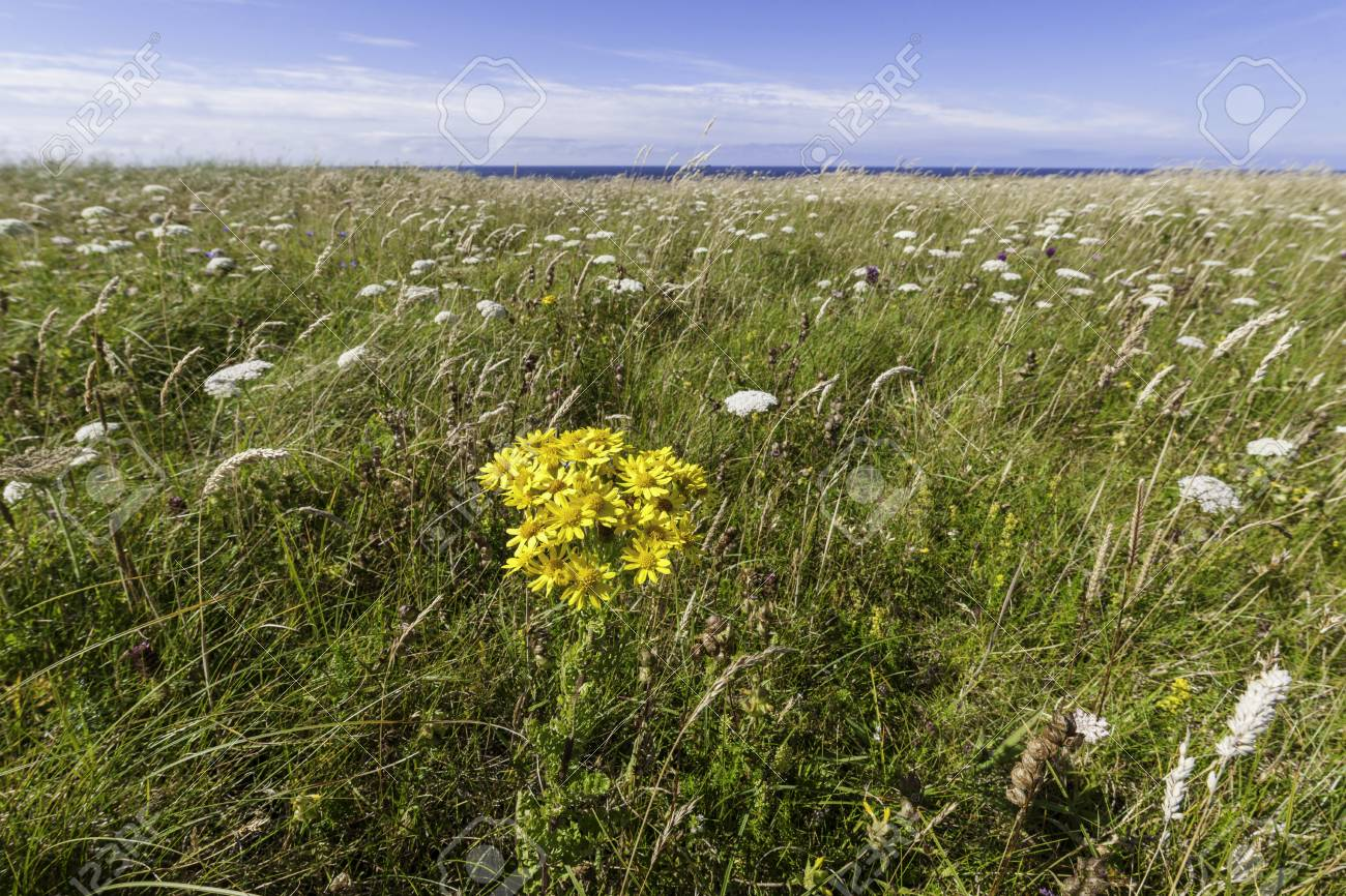Yellow flowers in a meadow county donegal ulster ireland stock yellow flowers in a meadow county donegal ulster ireland stock photo 64180924 mightylinksfo Images