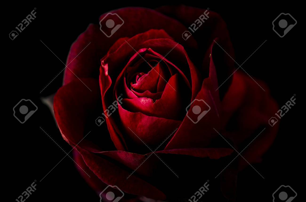 Red Rose On Black Wallpaper Stock Photo Picture And Royalty Free Image Image 66402126