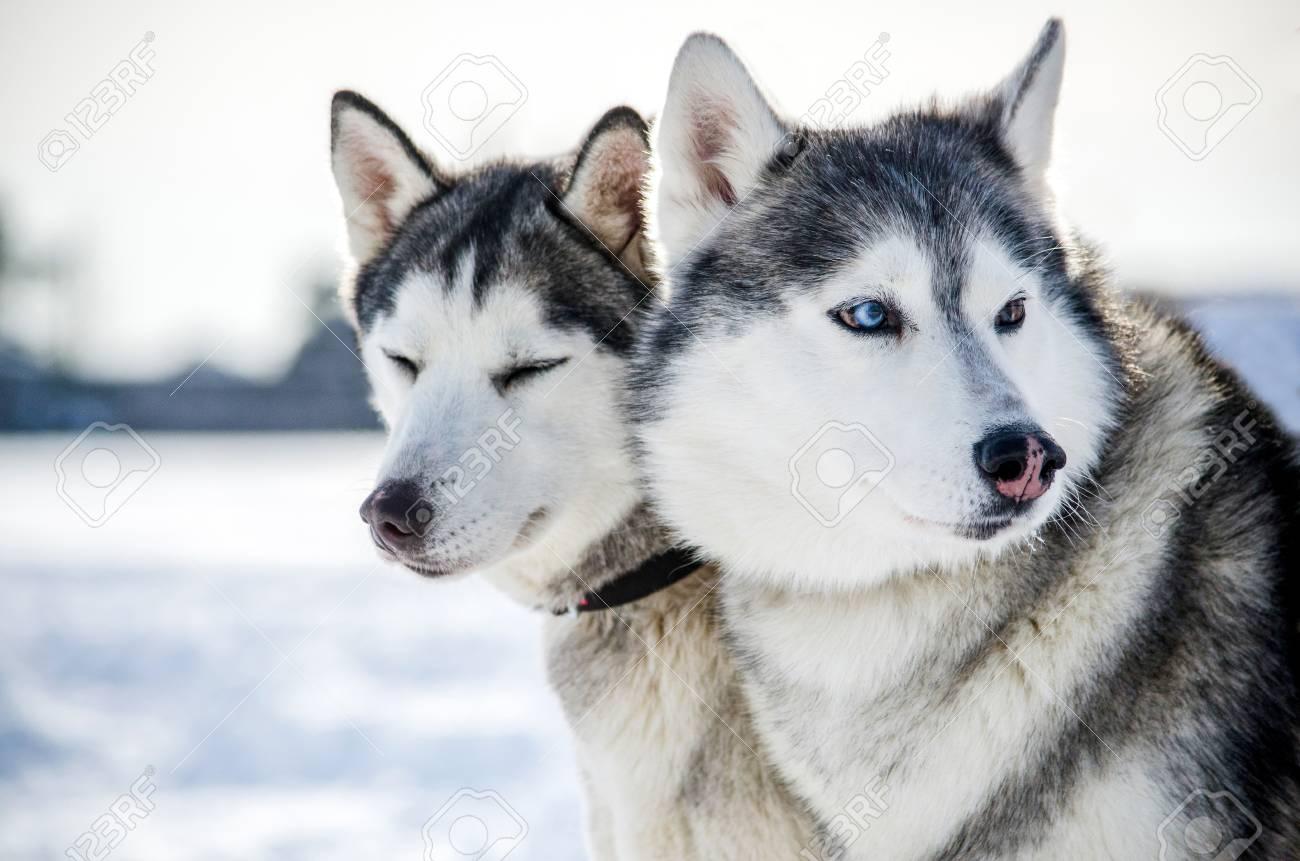 Two Siberian Husky Dogs Looks Around Husky Dogs Has Black And