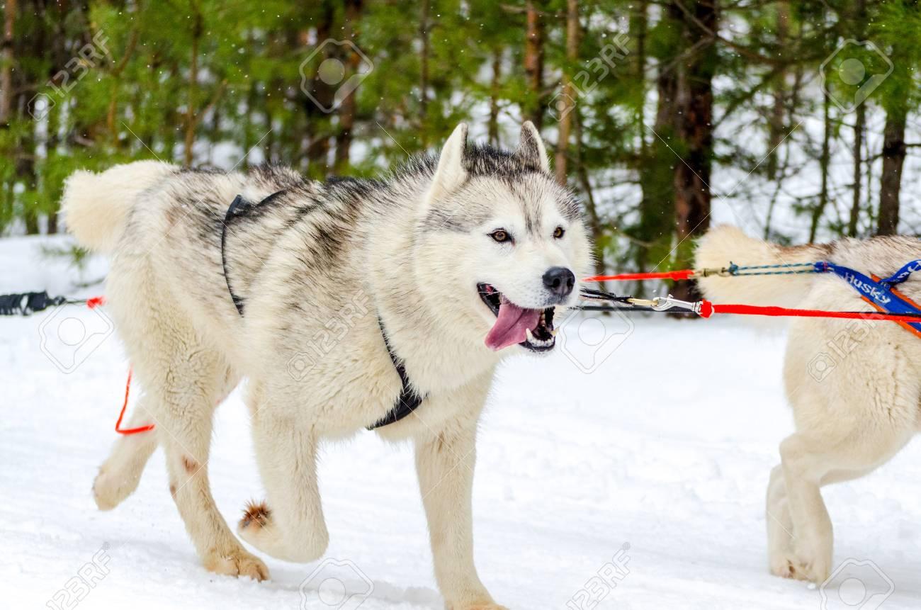 Sled dog Siberian Husky breed in harness  Husky dog has black