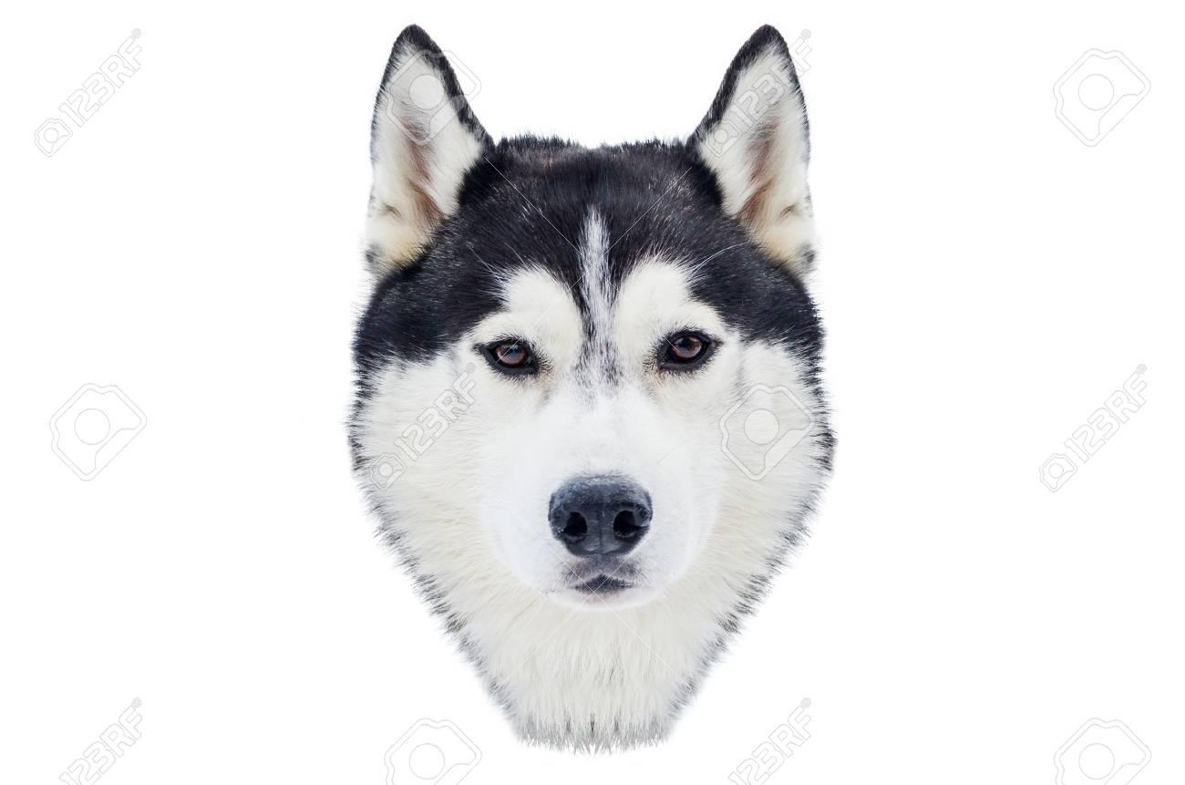 One Siberian Husky Dog Face Close Up Husky Breed Portrait Husky