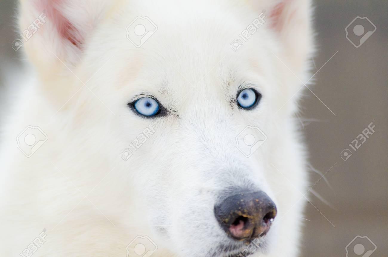 Siberian Husky Dog Close Up Portrait With Blue Eyes Husky Dog