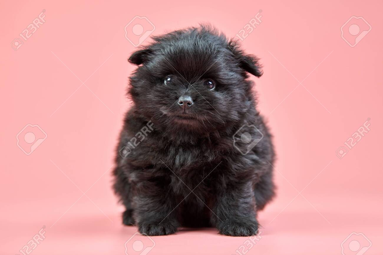 Pomeranian Spitz Puppy Cute Fluffy Black Spitz Dog On Pink Background Stock Photo Picture And Royalty Free Image Image 141424459